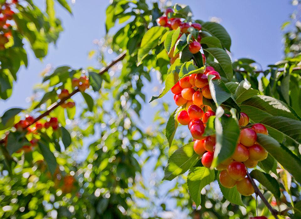 Cherries in Vernon, BC